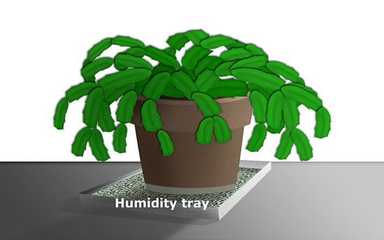 Potting Soil For Christmas Cactus.Care For A Christmas Cactus Gardening Christmas Cactus