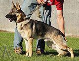 German Shepherd From Monks Of New Skete Cambridge Ny Family Protection Dogs German Shepherd German Shepherd Kennels