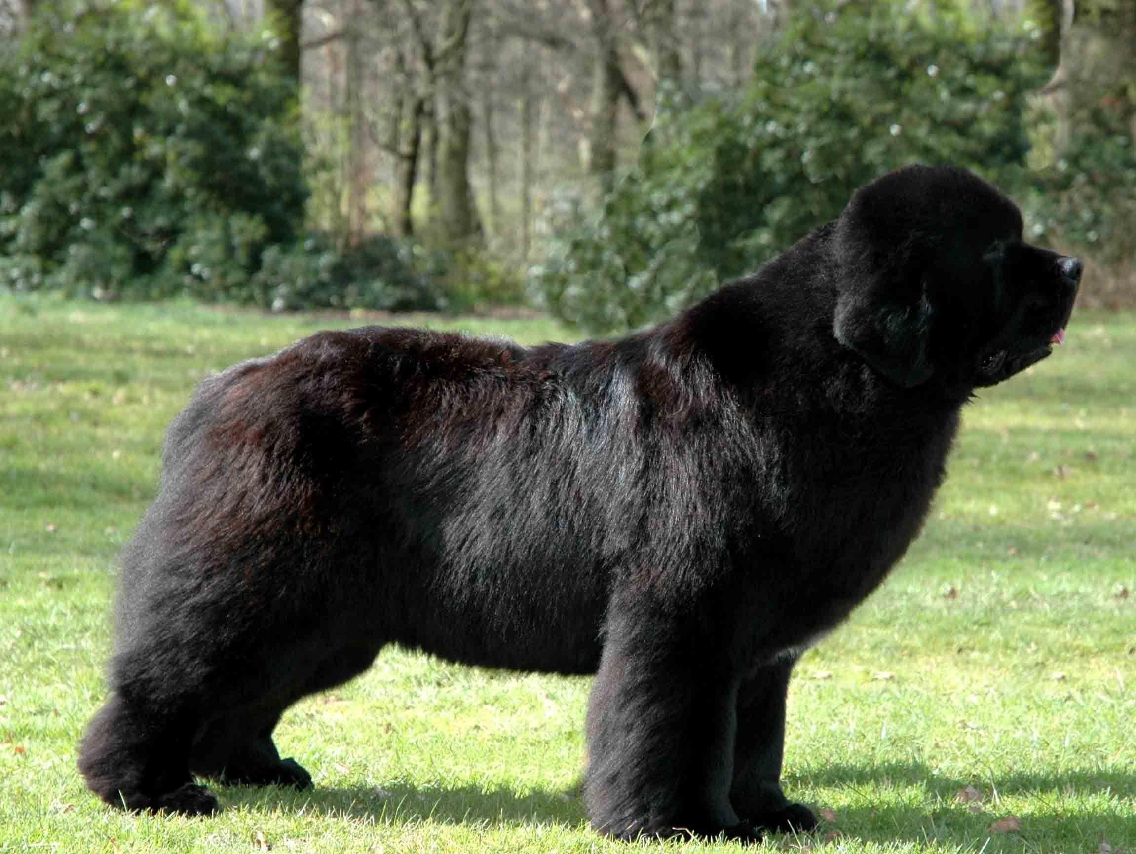 Giant Dog Breed Representative Species