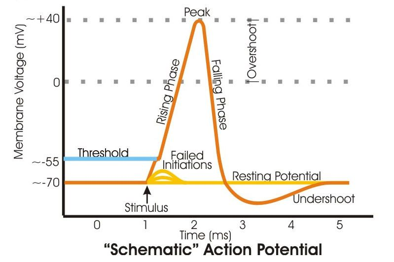Tired of struggling to understand action potentials discover how tired of struggling to understand action potentials discover how neurons signal along their axons and ccuart Choice Image