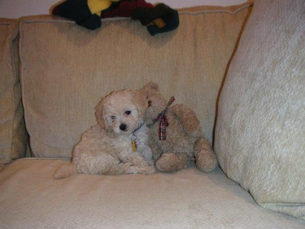 It S Hard To Believe My Little White Bichon Poodle Mix Started Off