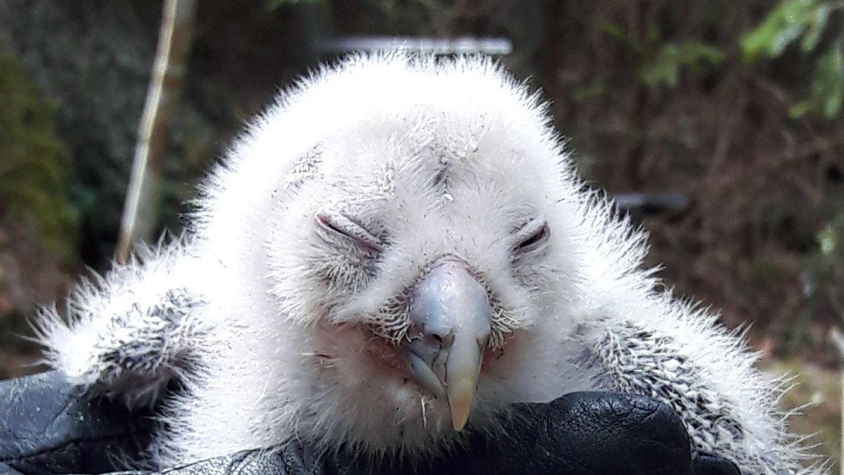 Ural owl (1 week)