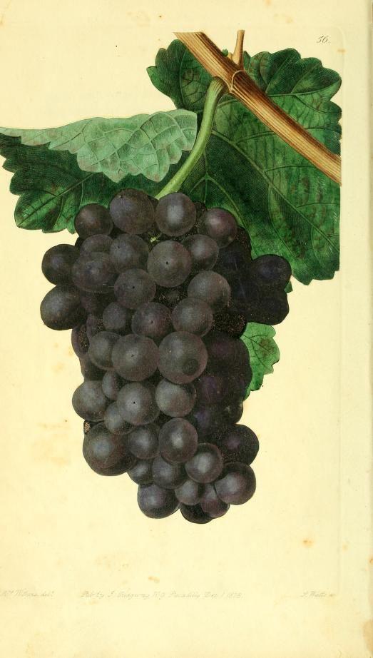 Miller's Burgundy Grape. The Pomological magazine v.2 London;J. Ridgway.