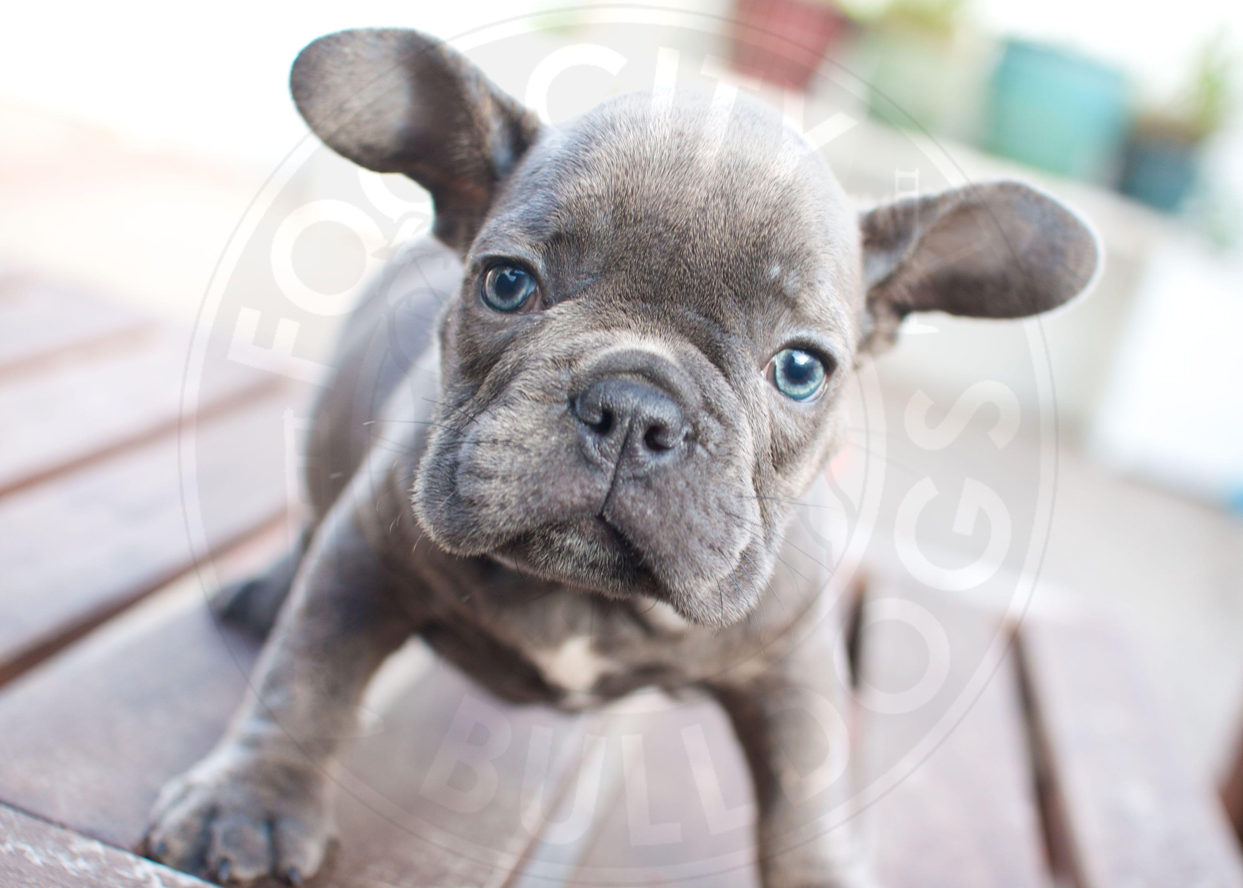o.m.g. blue brindle, blue-eyed french bulldog puppy. we call