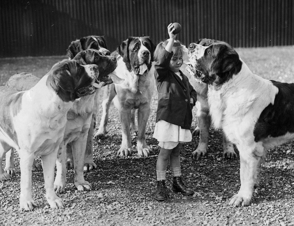 1935: Evelyn Luff entices her entourage of St. Bernard dogs at Abbots Pass kennels in England