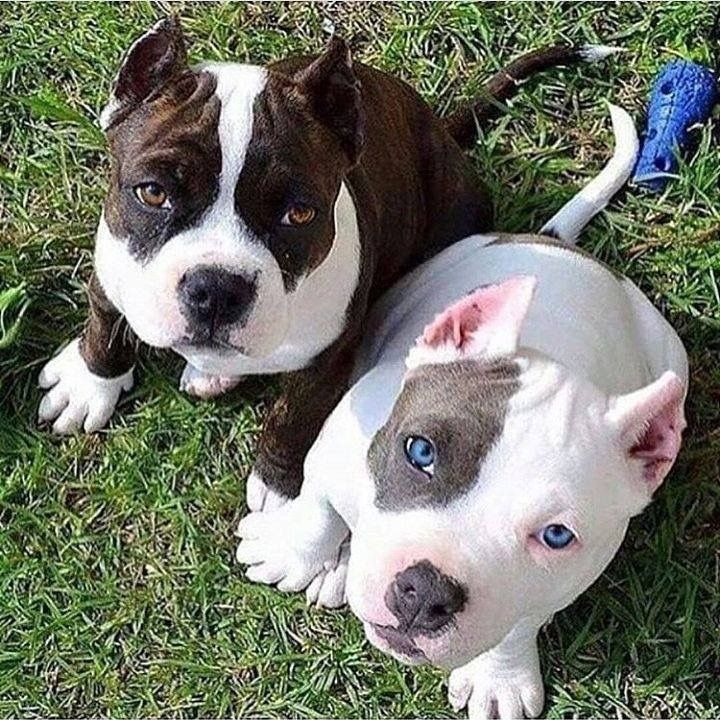 Pin By Michelle Streeter On Pitbull Pupies My Jax Beautiful Dogs Dogs Cute Funny Animals