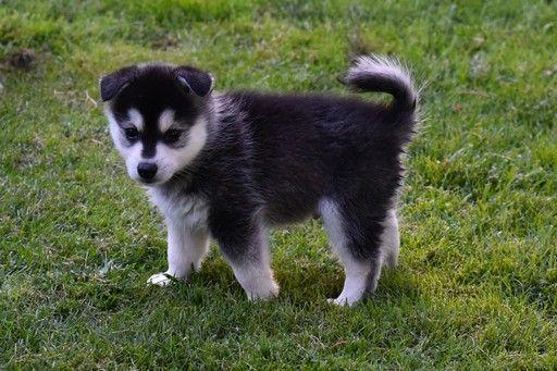 Alaskan Klee Kai Puppy For Sale In Aumsville Or Adn 35608 On