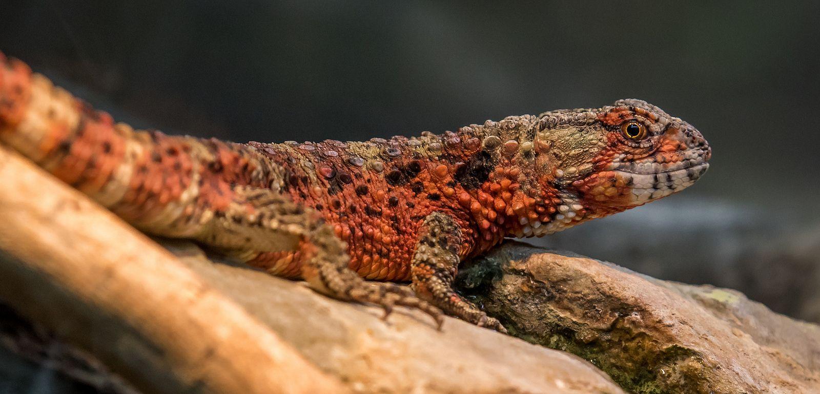 Chinese Crocodile Lizard | by Bob Worthington Photography