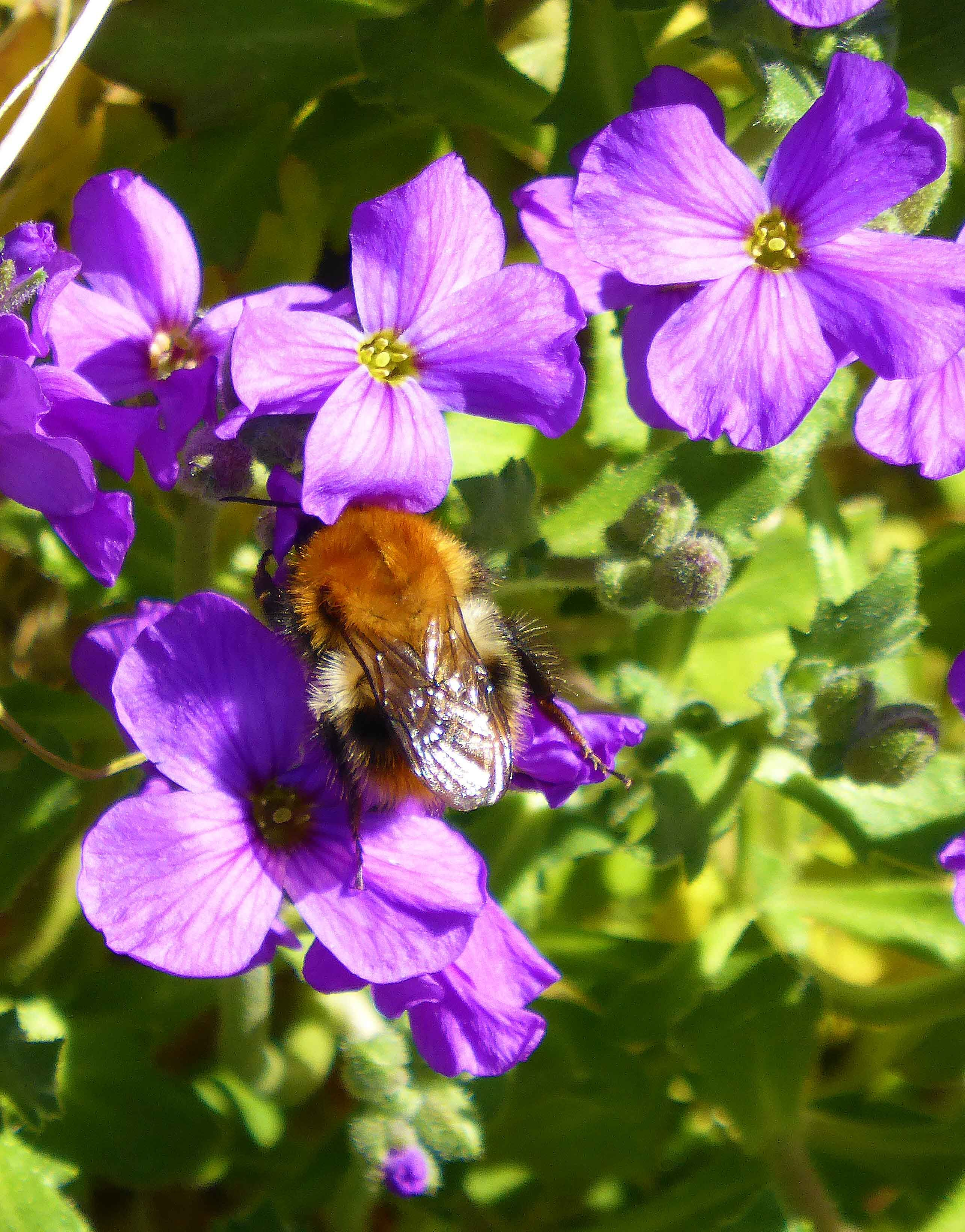 Bee On Aubretia Bees Like Simple Flowers And Are Attracted To