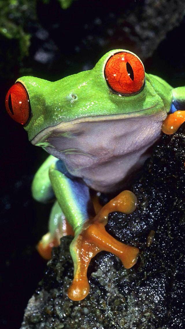 Pin de Kathy Jacobs en frogs   Pinterest   Sapito