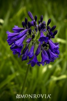 Agapanthus Inapertus Graskop Recommended By Dan Hinkley 2