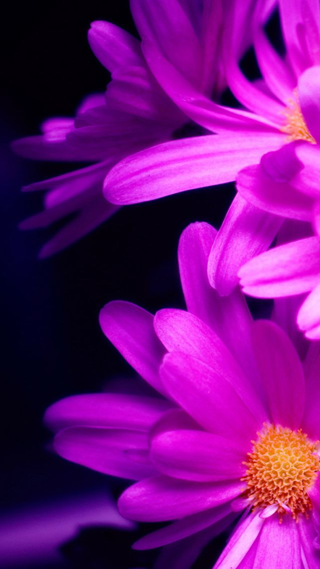 Purple Pink Daisy Flower Bouquet Macro #iPhone #5s #wallpaper
