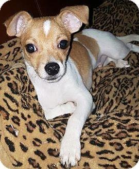 Oswego Il Shih Tzu Chihuahua Mix Meet Meenie Mouse A Puppy