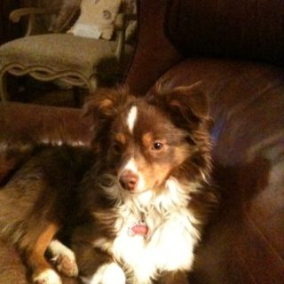 """Honey, our toy Australian Shepherd at 7 months. 13"""" tall 15 lbs."""