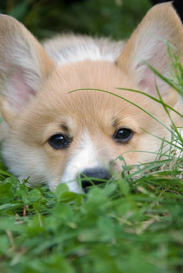 Zerberus from Germany | Cute corgi, Corgi dog, Cute animals