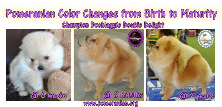 Pomeranian Coat Color Changes From Birth To Maturity Pomeranian