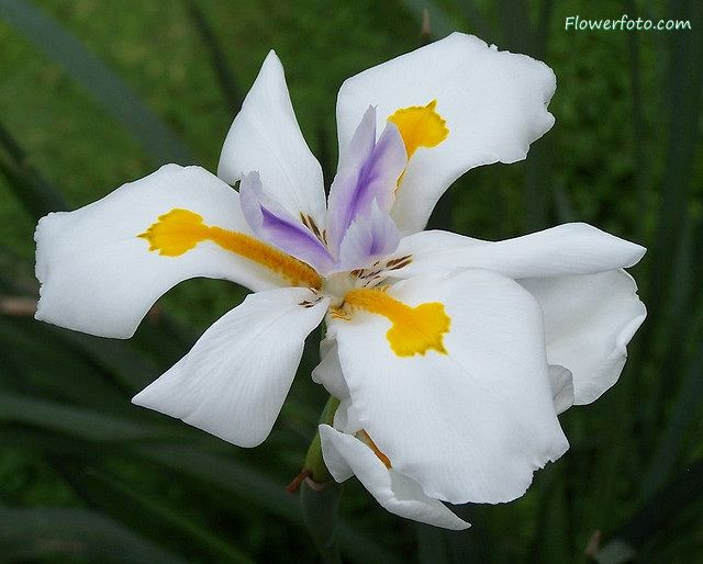 Irises Plant Care And Collection Of Varieties Garden Org Nature Beaute