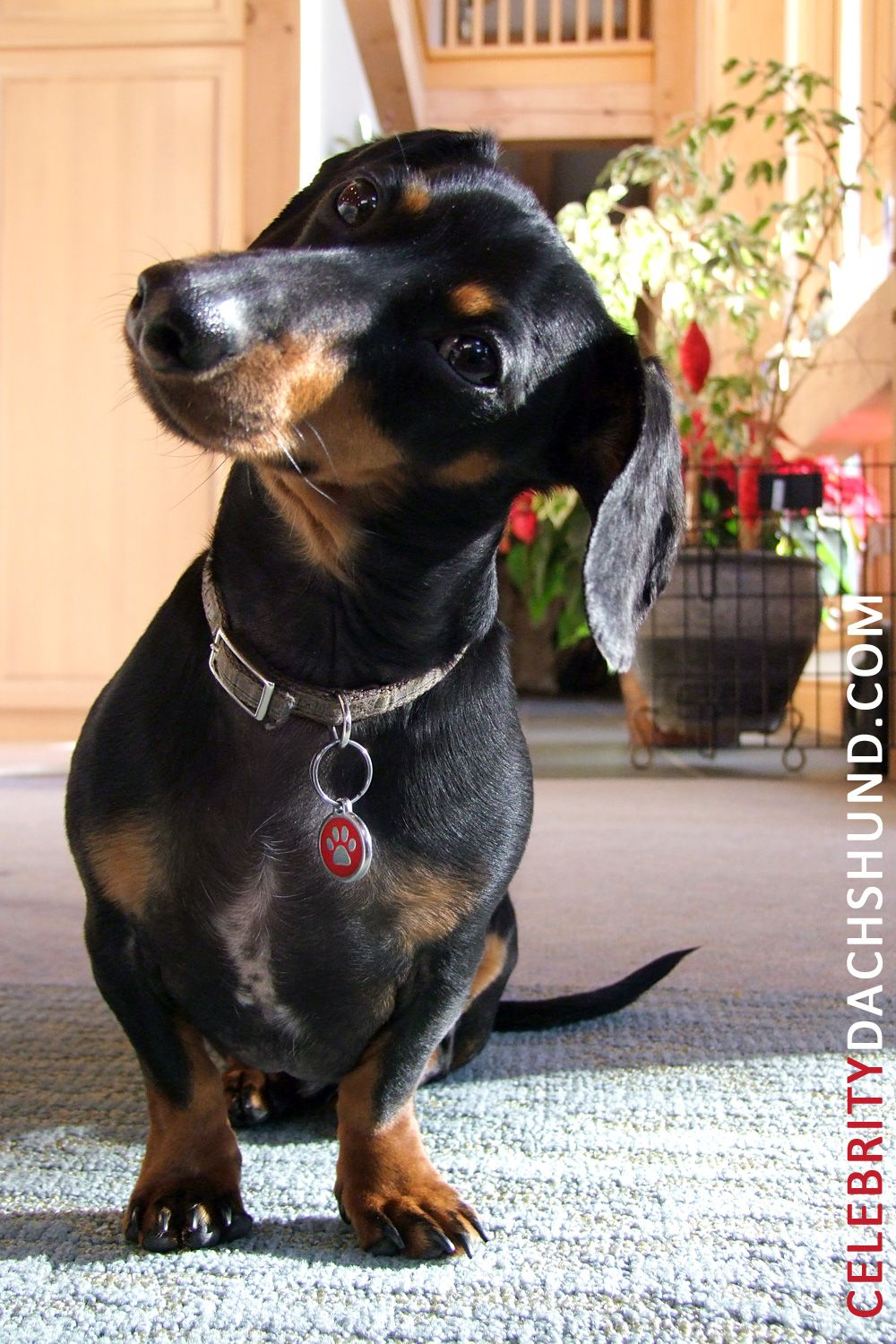Did I Just Hear A Squeak Come From Your Pocket Funny Dachshund