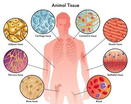 Types Of Human Body Tissue Www Anatomynote Com Anatomy Note