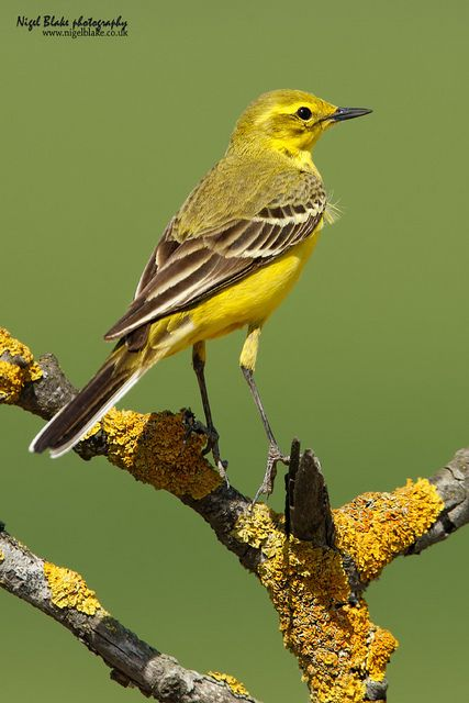 yellow wagtail motacilla flava flavissima male summer. Black Bedroom Furniture Sets. Home Design Ideas