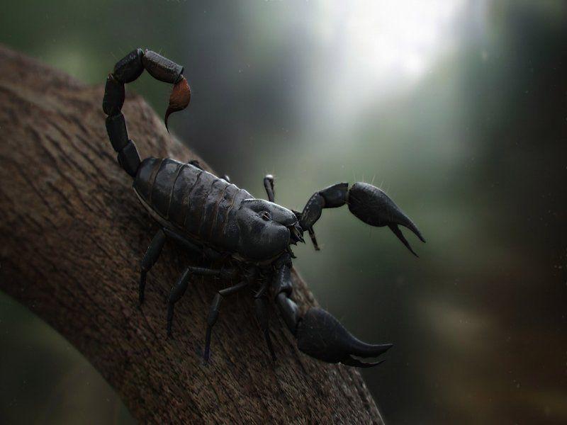 Black Scorpion Animal Wallpaper Free Download