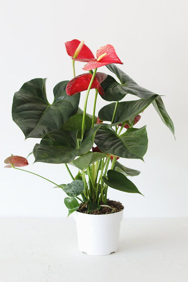 Live Anthurium House Plant In 6 Pot Ships Alone In 2020 Tropical House Plants Plants House Plants
