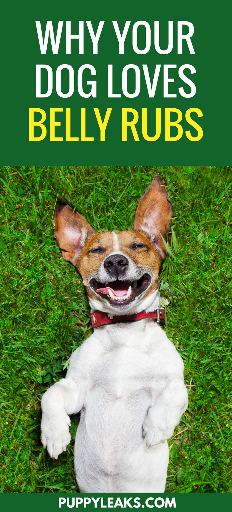 Why do dogs love belly rubs your dog dogs and dog