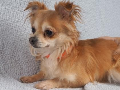 Meet Axel A 2 Years 11 Months Chihuahua Long Coat Available For Adoption In Colorado Springs Co Chihuahua Dog Adoption Puppy Adoption