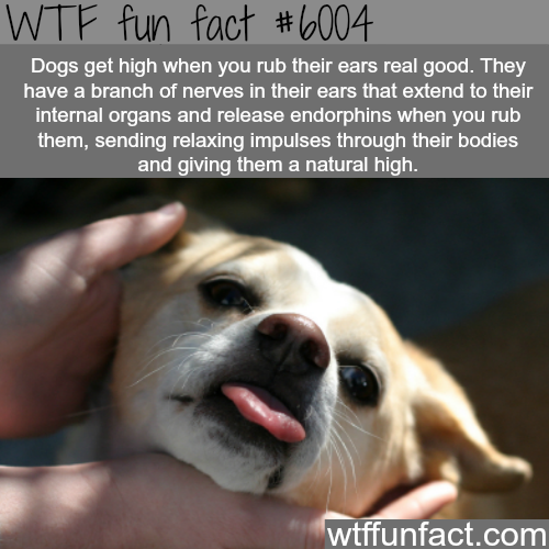 Dogs get high when you rub their ears - WTF fun facts | Cats ...