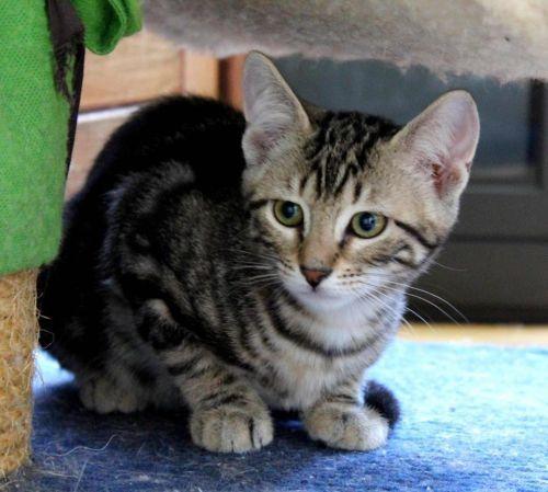 Adopter Moyen Chat Bebe L Etoile Feline Essonne Chat Domestique Poil Court Secondechance Org Animales Chat Animal Domestique