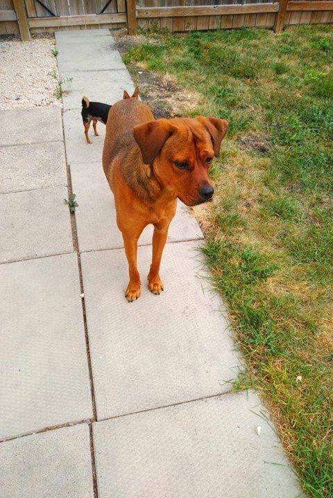 Lost Dog Solway Mastiff / Rottweiler Mix Female Date