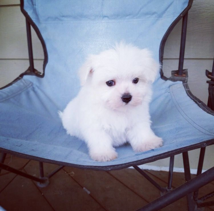 Maltese puppy for sale in LOS ANGELES, CA. ADN25737 on