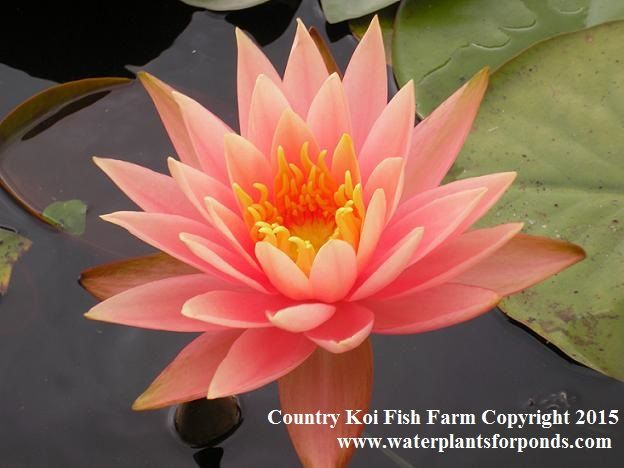 Water Plants For Ponds Water Lilies Aquatic Plants Pond Plants Pond Plants Water Plants For Ponds Flora Flowers