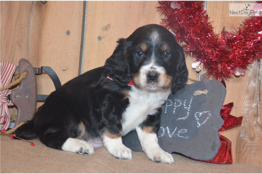 English Springer Spaniel puppy for sale near Youngstown