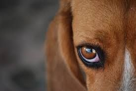 Image result for dog eyes