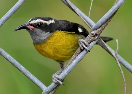 Reinita Comun De Puerto Rico Puerto Rico Aves De Colores Islas
