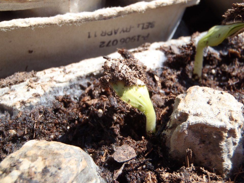 "Don't be fooled by the sun... official ""frost free days"" for your plants aren't here until May 10-15.  But our zucchini seedlings sure like the afternoon sun for a few hours!"