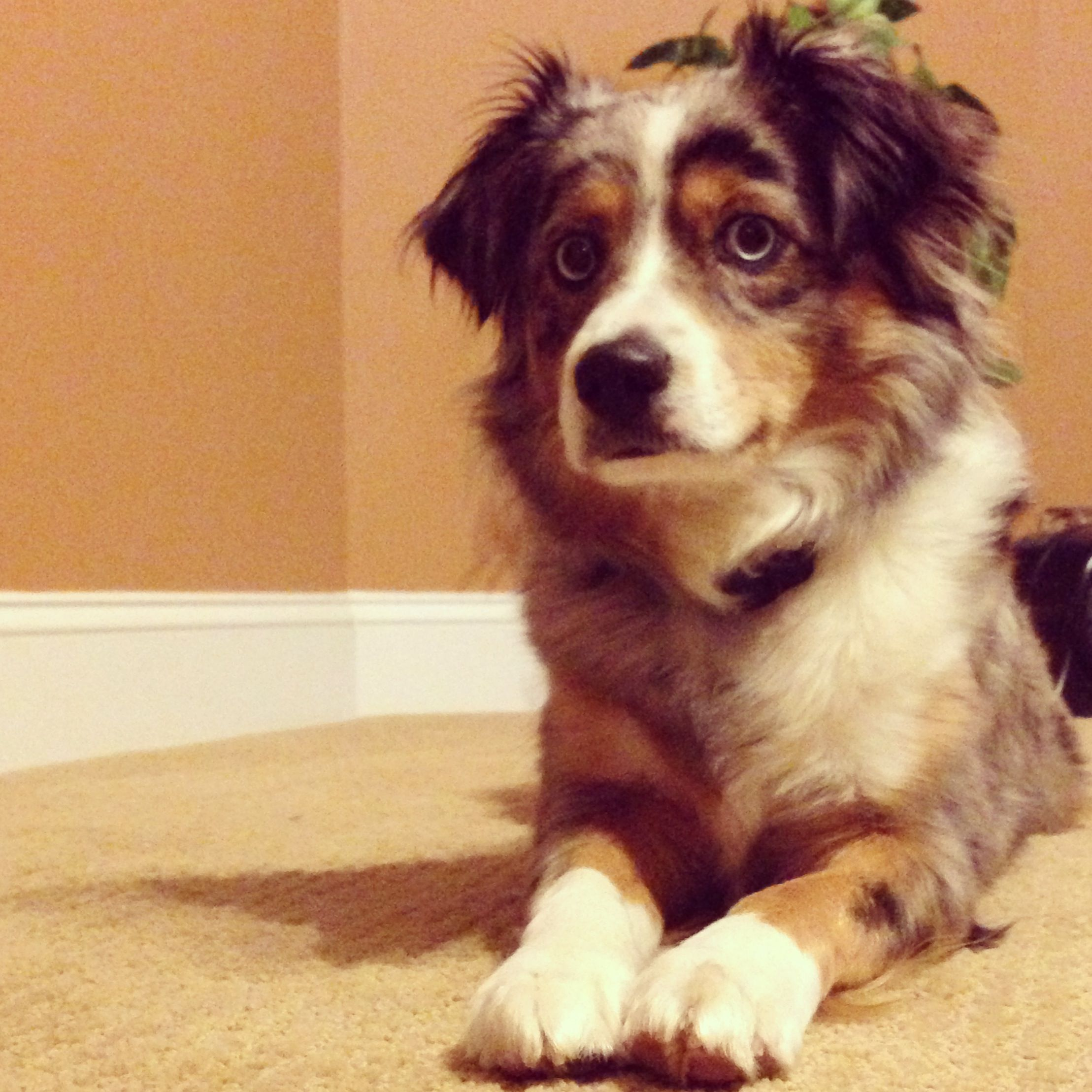 This Is Addison She Is A Toy Aussie She Is Full Grown In This