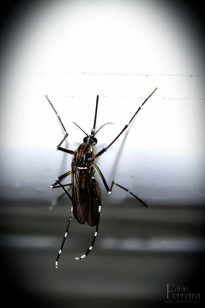 Aedes aegypti - Mosquito da Dangue (Aedes aegypti)   Aedes aegypti é a nomenclatura taxonômica para o mosquito que é popularmente conhecido como mosquito-da-dengue ou pernilongo-rajado.