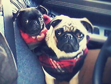 All Of The Strategies To Acquire The Ideal Pug Title Http