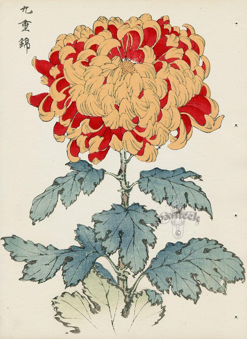 From Art Of The Japanese Chrysanthemum Japanese Art Chrysanthemum Drawing Japanese Woodblock Printing