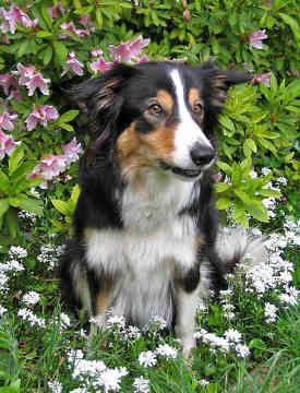 Tri Color Border Collie Blends In Well With The Flowers Border