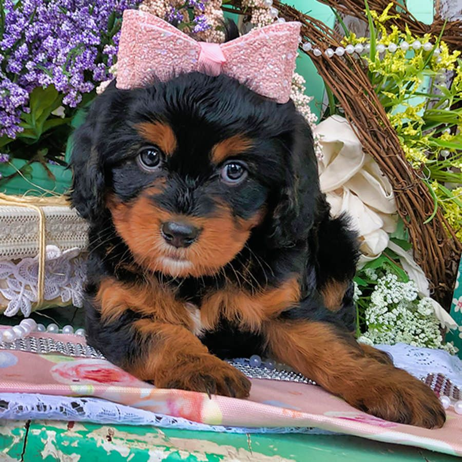 Cavapoo Puppies For Adoption In Michigan References