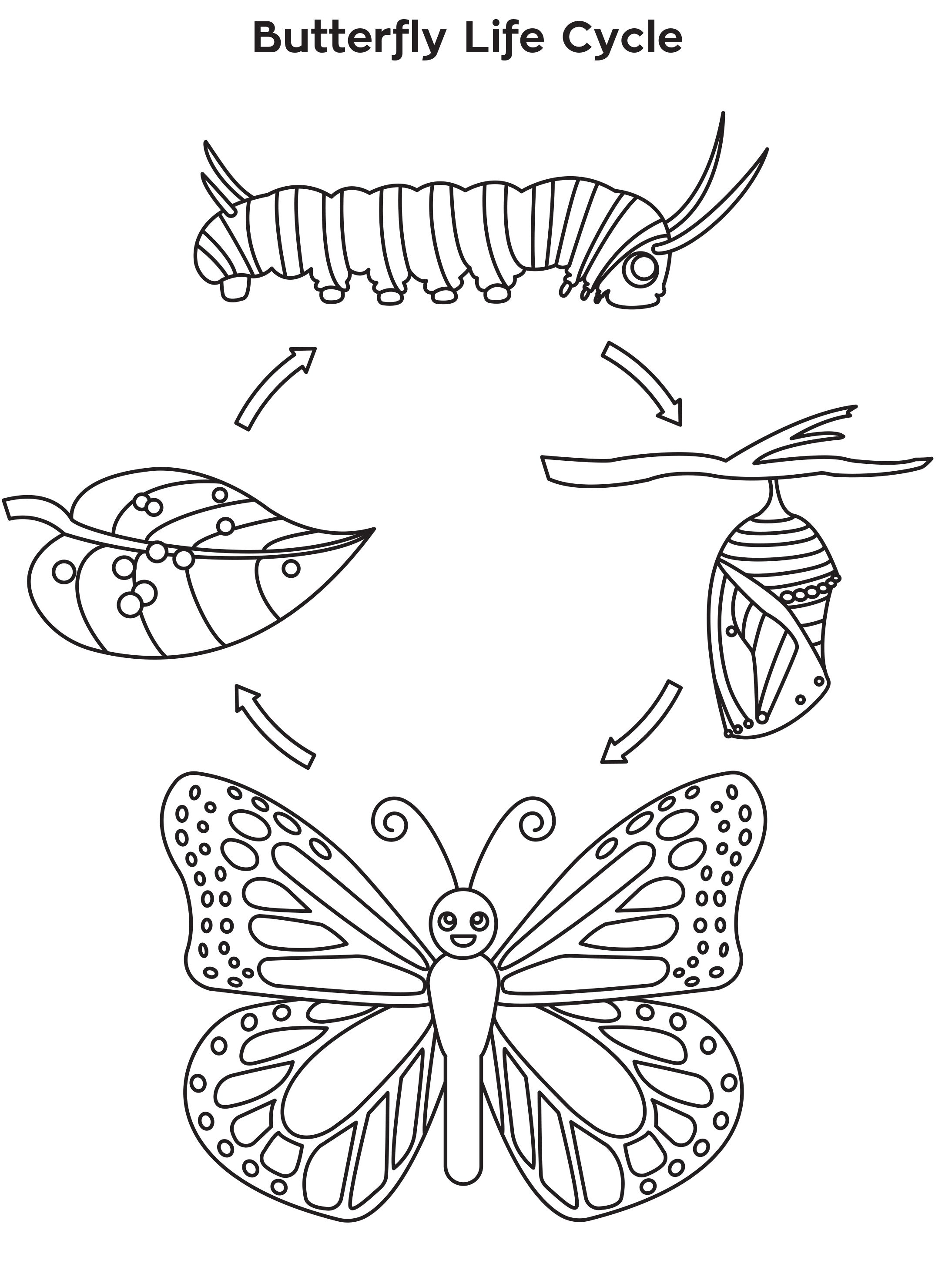 Meeting 6 Butterfly Life Cycle Coloring Sheet Butterfly Life