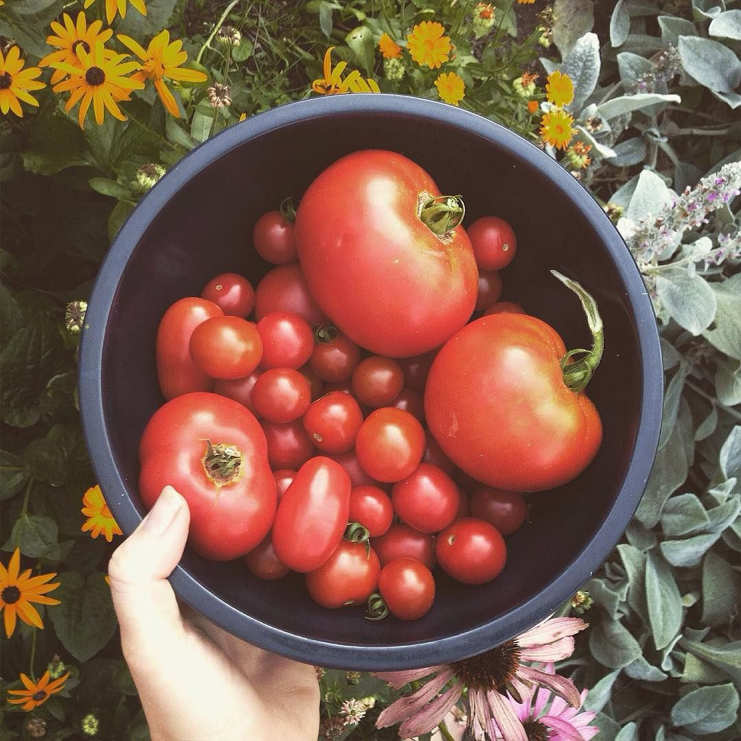 Harvesting tomatoes from our home garden.  It's been a learning process with growing tomatoes back here in Canada, how to space them and stake them, the different weather conditions from Venezuela. In the end that's one of our favourite parts of gardening, the constant learning process, the trial and error. Stay tuned for some homemade spicy salsa.