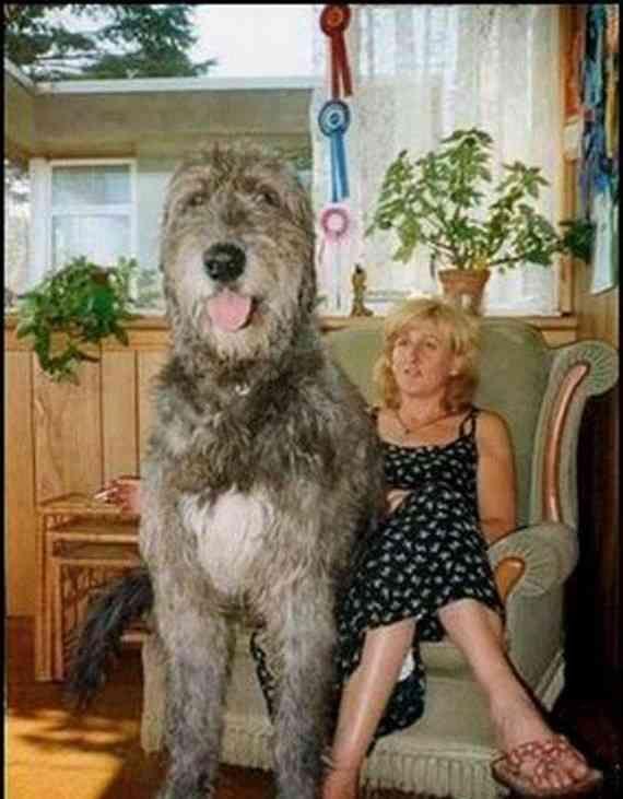 Huge Dog Hugs Worlds Biggest Dog Giant Dogs Huge Dogs