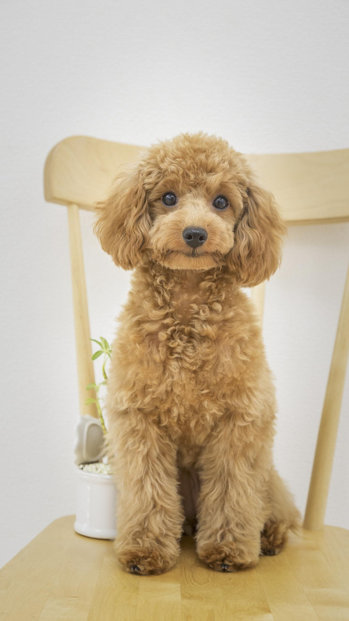 Poodle A Dog With Thick Curly Hair Natural Actively Smart