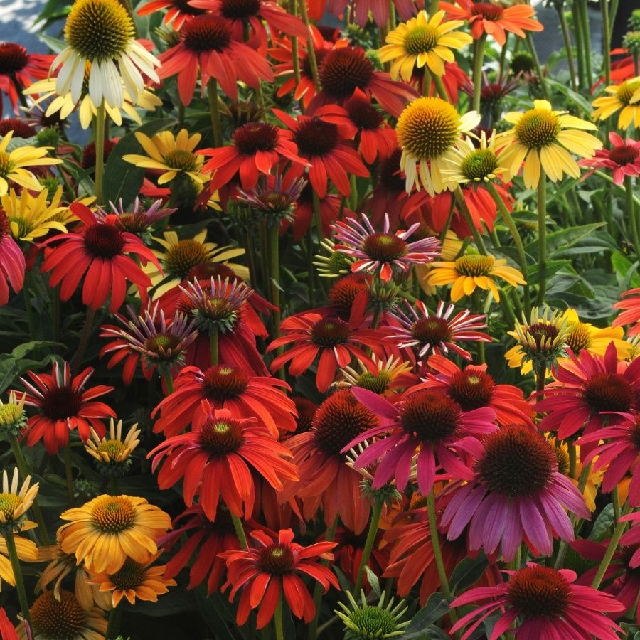 Echinacea Cheyenne Spirit Mixed 5 Large Plug Plants