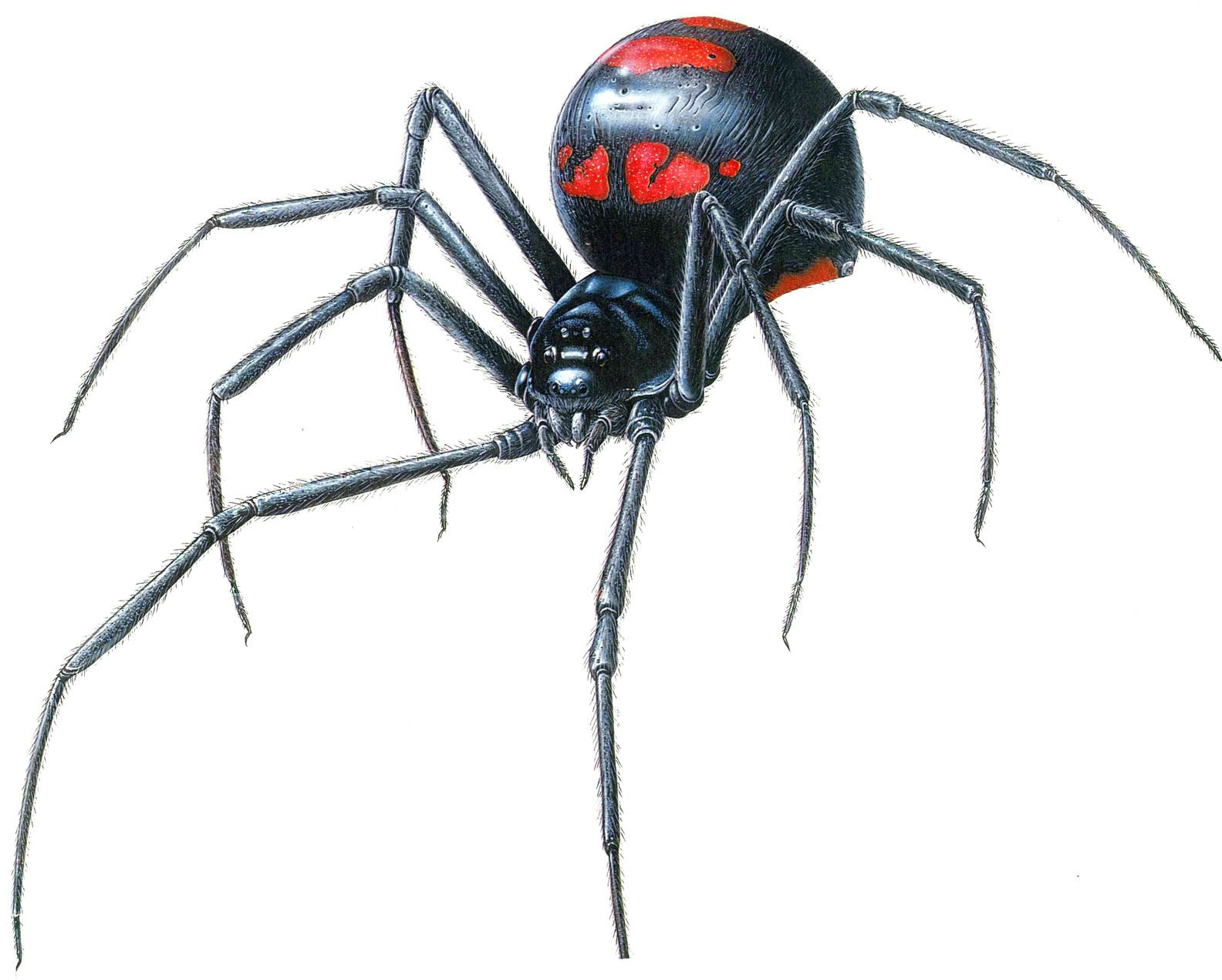 Black Widow Spider Web Black Widow Spider Web Latrodectus