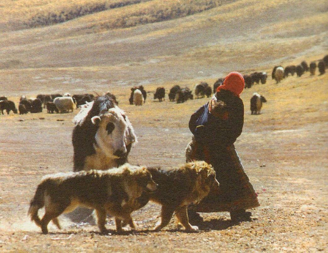 My Mastiff Of Choice Mongolian Mastiff Rat Catchers